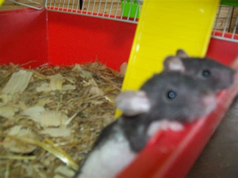 UK Small Mammals for Sale, Adoption, Buy, Sell @ Adpost