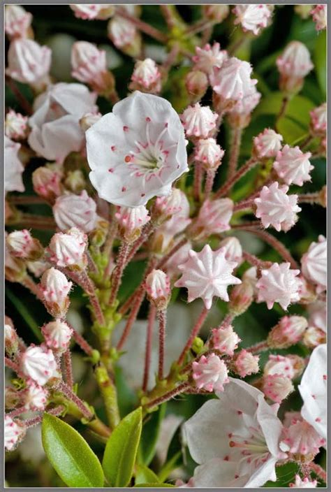 A Close-up View of Dwarf Mountain Laurel