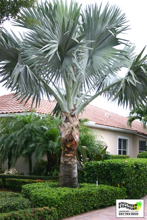 111 Best EXOTIC PALM TREES images   Tropical garden