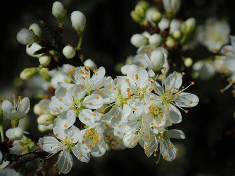 Spring Cherry Blossom Green Leaves And White Flowers On
