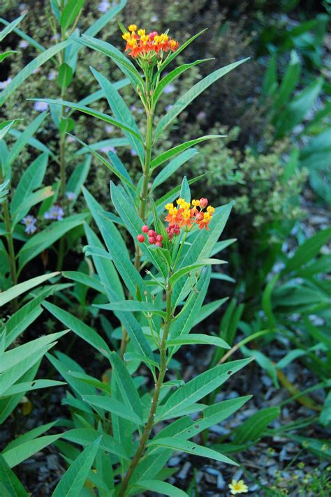 File:Mexican Butterfly Weed Asclepias curassavica Plant