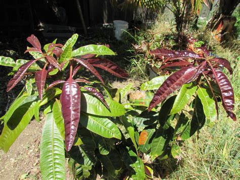 Small Mango tree red leaves
