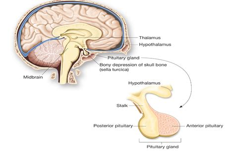 Hypothalamus and Pituitary - The Endocrine System